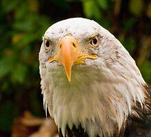 Bald Eagle 2 by Sue Ratcliffe