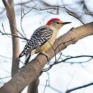 Red Bellied Woodpecker by HighImpactImage