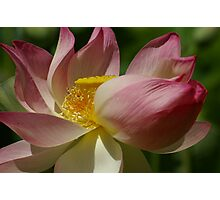 Imperial Lotus Photographic Print