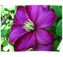 ~ Clematis ~ Poster