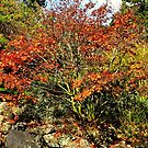 Fall Waning - Hobart Botanical Gardens by Bluemoon62