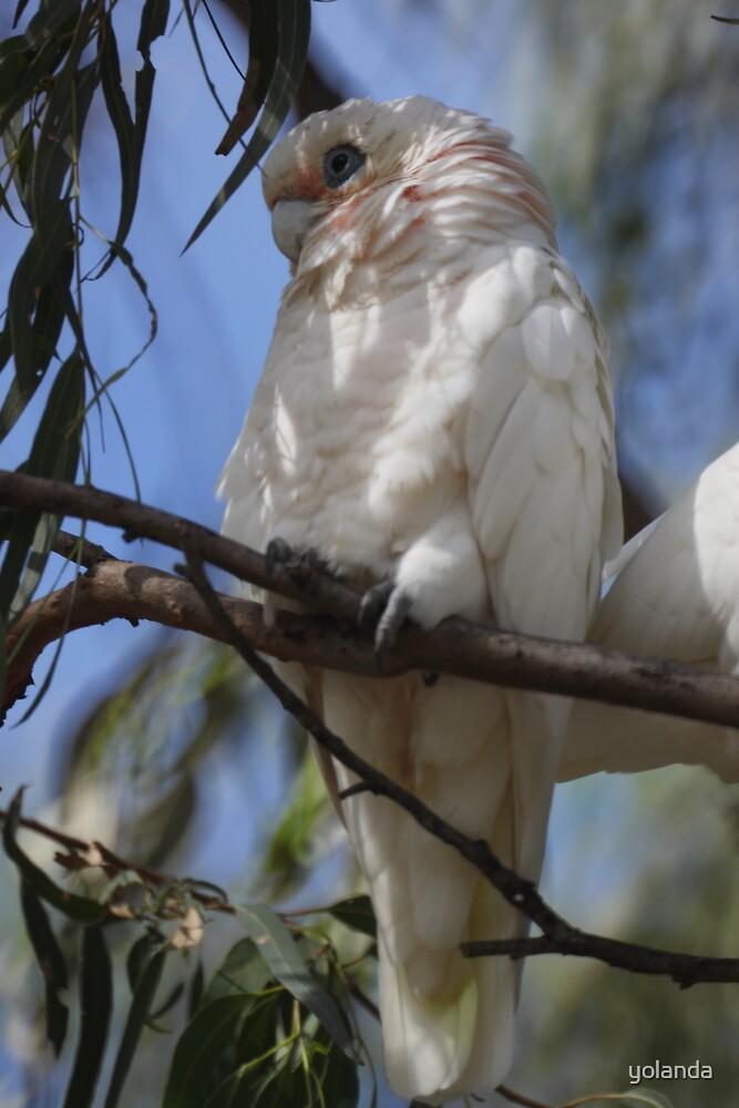 White Cockatoo by yolanda