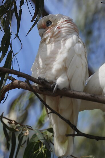 White Cockatoo by yolanda