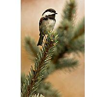 Chestnut Backed Chickadee on Blue Spruce Photographic Print