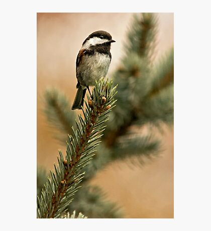 Chestnut Backed Chickadee on Blue Spruce Photographic Print