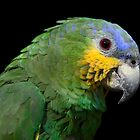 Blue headed parrot by ammit