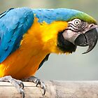 Blue and yellow parrot by ammit