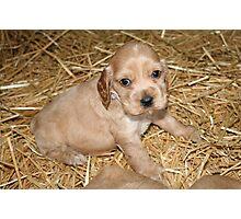 Cocker Spaniel Pup  Photographic Print