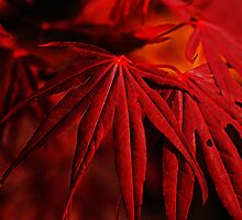 Maple Leaves I by Mandy Tabatt