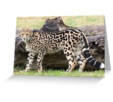 Female - King Cheetah Greeting Card