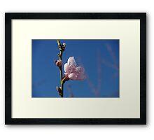 Peach blossom and Australian blue sky Framed Print