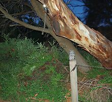 Tawny Frogmouth Owl - Coles Bay by imaginethis