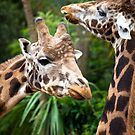 Giraffes at the Melbourne Zoo by John Vandeven