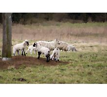 Spring Sheep Photographic Print