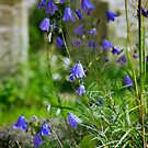 Harebells by Colin Metcalf