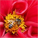 bee on a rose by BlaizerB