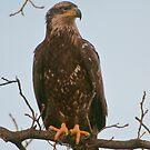 Immature Bald Eagle by Gary Lengyel