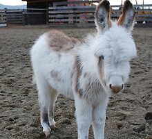 Six-week old Donkey by Marjorie Wallace