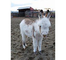 Six-week old Donkey Photographic Print