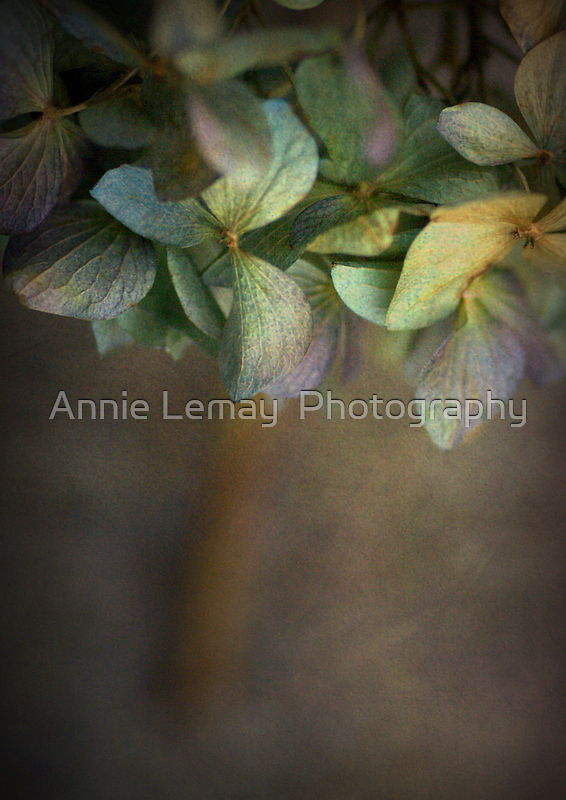 Hydrangea  by Annie Lemay  Photography
