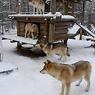 Wolves in Levi, Finland by KanaShow