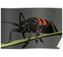 Pondo Pondo Longhorn Beetle Poster