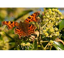 Comma on Ivy Flowers Photographic Print