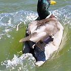 ride the wave...mallard duck  by eolp