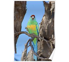 Mallee Ringneck Poster