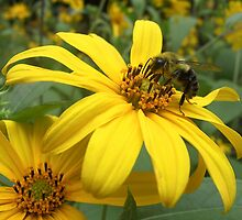 Bumble Bee on a Daisy - Dunrobin Ontario by Debbie Pinard