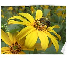 Bumble Bee on a Daisy - Dunrobin Ontario Poster