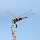 Dragonfly 3 by jozi1