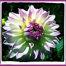 Dahlia  >> by JuliaWright