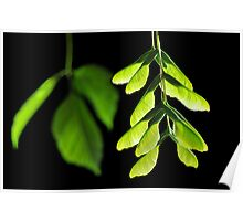 Maple Seeds Poster