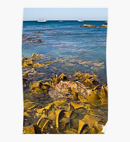 Exposed Kelp, Bluff Hill Point West Coast, Tasmania Poster