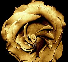My special copper rose by Lucy1958