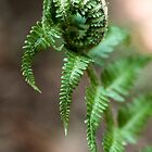 Unfurling fern by Kevin Allan