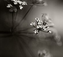 Umbel by kimmac