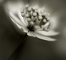 Astrantia by kimmac