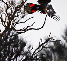 Red Tailed Black Cockatoo by Paul Fulwood