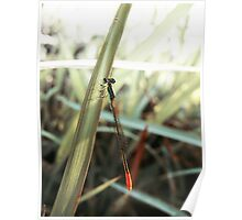 Red Tail Dragonfly Poster