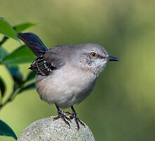 Northern Mockingbird by Bonnie T.  Barry