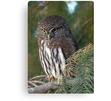 Northern Pygmy Owl Canvas Print