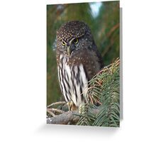 Northern Pygmy Owl Greeting Card