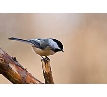 Black Capped Chickadee on Branch - Ottawa, Ontario Photographic Print