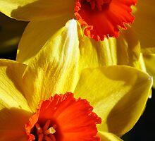 daffodils by nickilalala