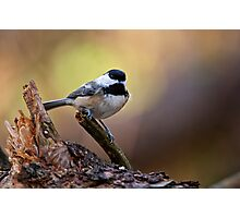 Black Capped Chickadee - Ottawa, Ontario Photographic Print
