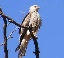 Whistling Kite - Bird & Animal Sanctuary, Lake Cargelligo, NSW by Gregory McInnes