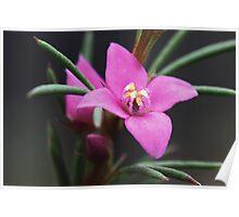Boronia falcifolia  Poster