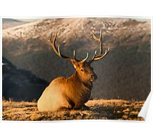 The Great Bull Elk At Rest Poster